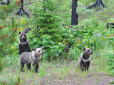 3 grizzly bear cubs on old road bed