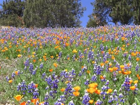 Lupines and Poppies - Figueroa Mountain