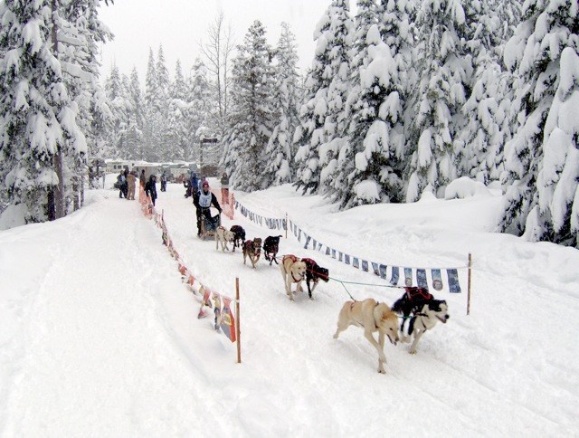 A racing dog sled team