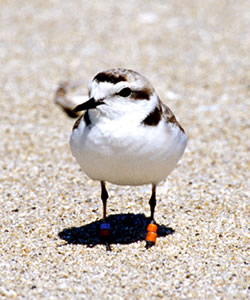 Photo of a single snowy plover in the sand