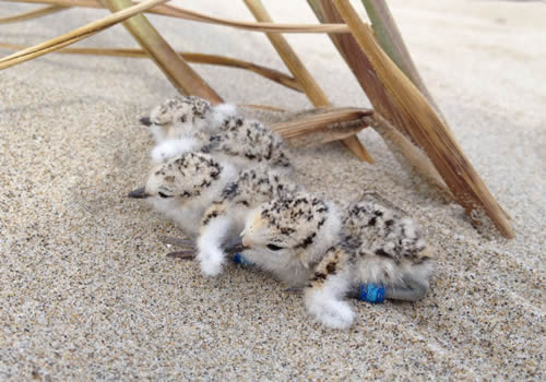 Three fuzzy snowy plover chicks on the sand
