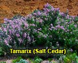 Tamarix in bloom, a green shrub with purple flowers