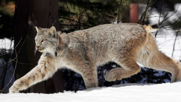 A grey colored lynx walking on snow
