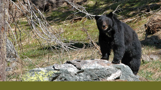 Wild Sierra Black Bear