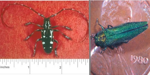 Images of Asian Longhorned Beetle and Emerald Ash Borer - invasive insects.