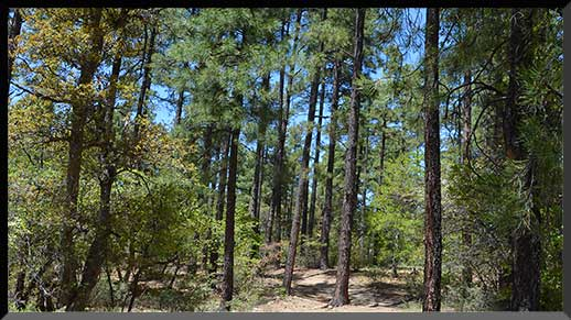 Ponderosa pines along Trail #307