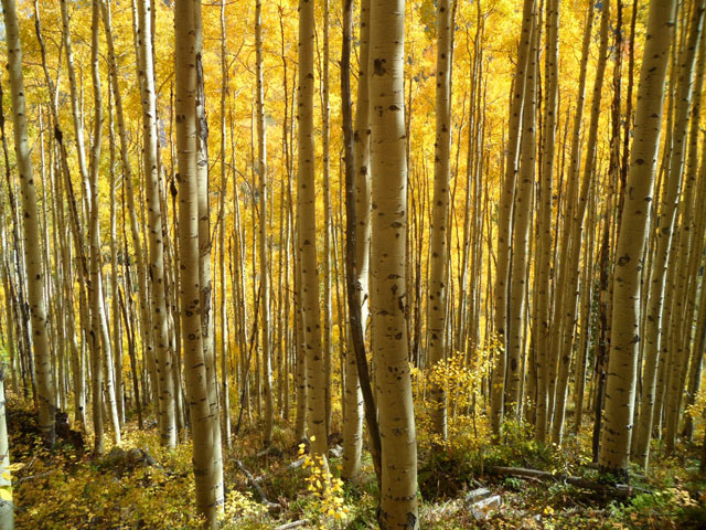 A stand of Aspen trees during foliage