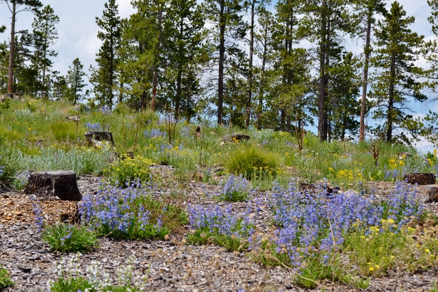 Shrubs, grasses and wildflowers grow in an area that was clearcut two years ago