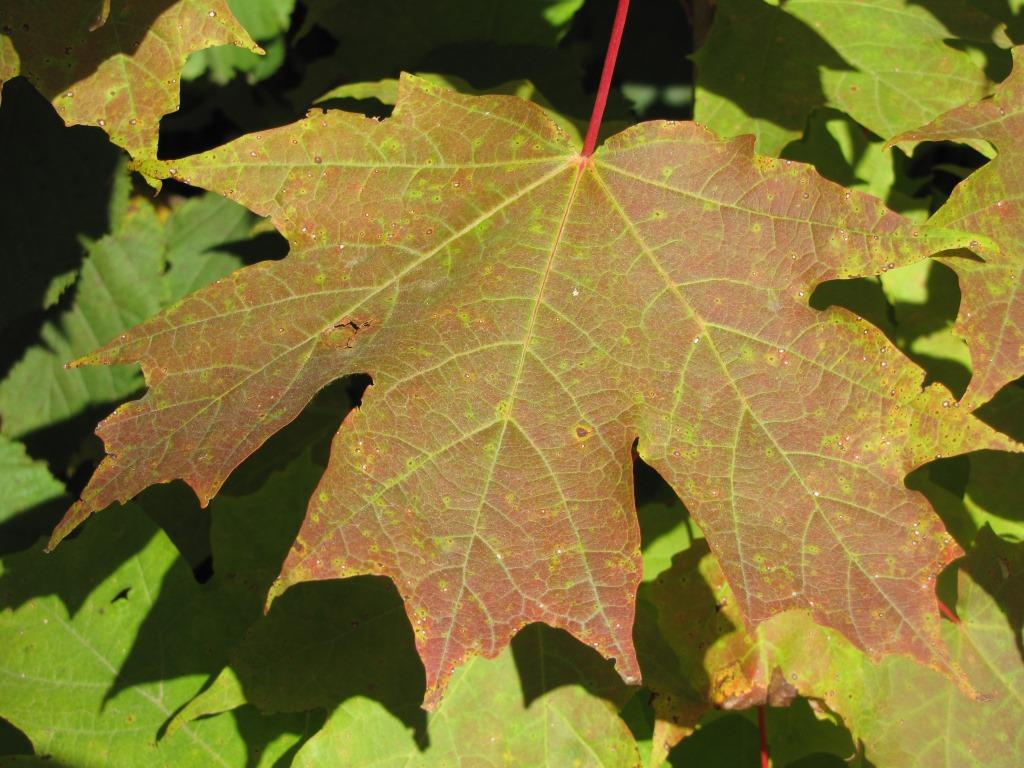 A single early red maple leaf.