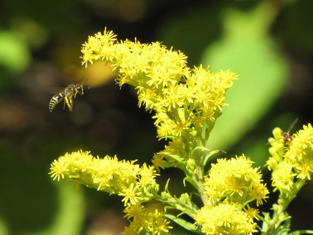 A wasp comes in for a landing on a goldenrod flower.