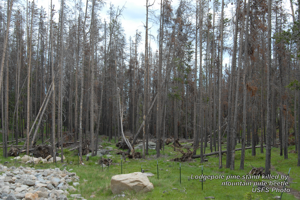 Lodgepole pine stand killed by mountain pine beetle