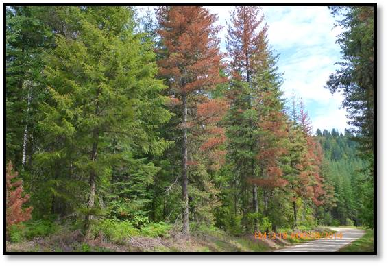 Trees alongside road killed by mountain pine beetle