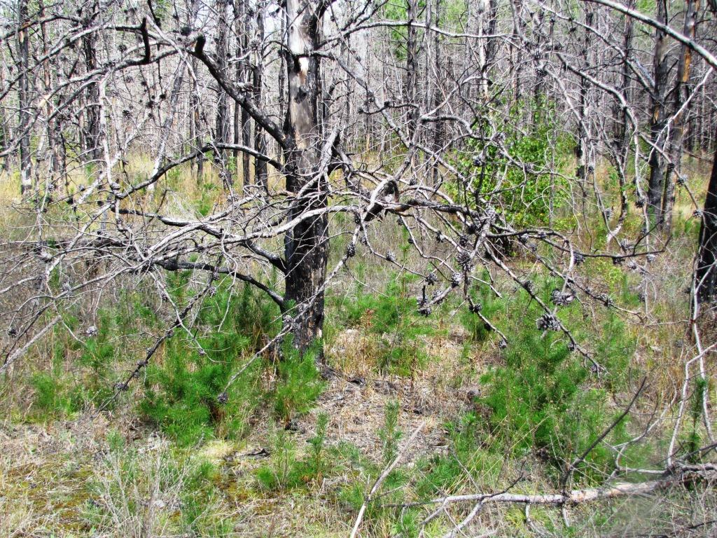 Young jack pines grow beneath the burnt parent tree.