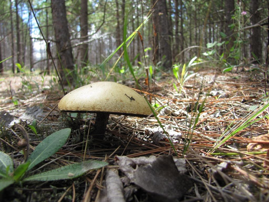 A mushroom sprouts from the forest floor in the Pagami fire area