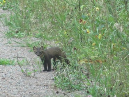 A pine marten at the edge of the road.
