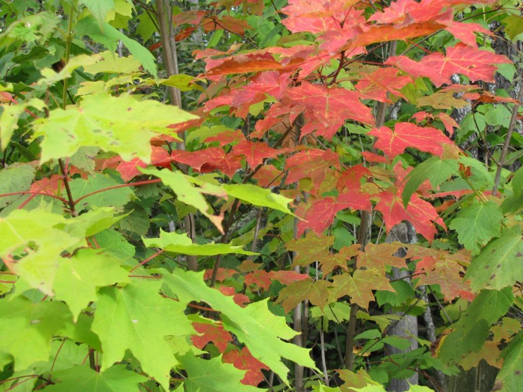 Red leaves and green leaves on maple trees in early fall.