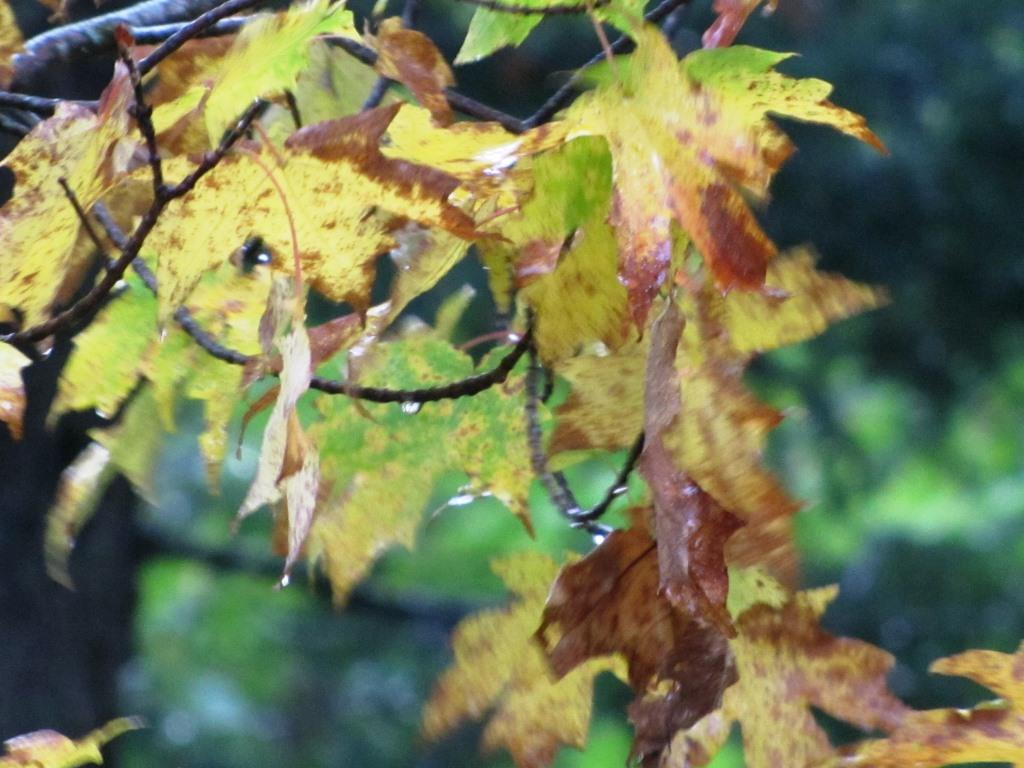 A close up of storm tossed fall leaves.