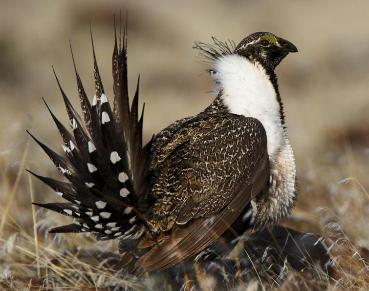 Photo of a Greater Sage-Grouse