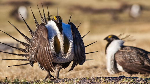 Male Sage-Grouse Struting