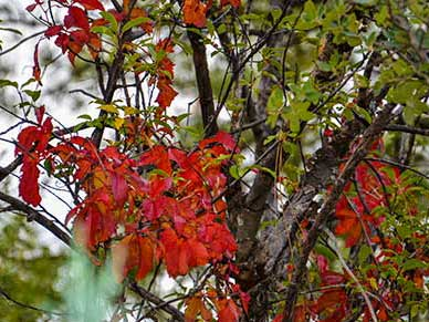Bright red virginia creeper vines cling to pnderosa pine and oaks