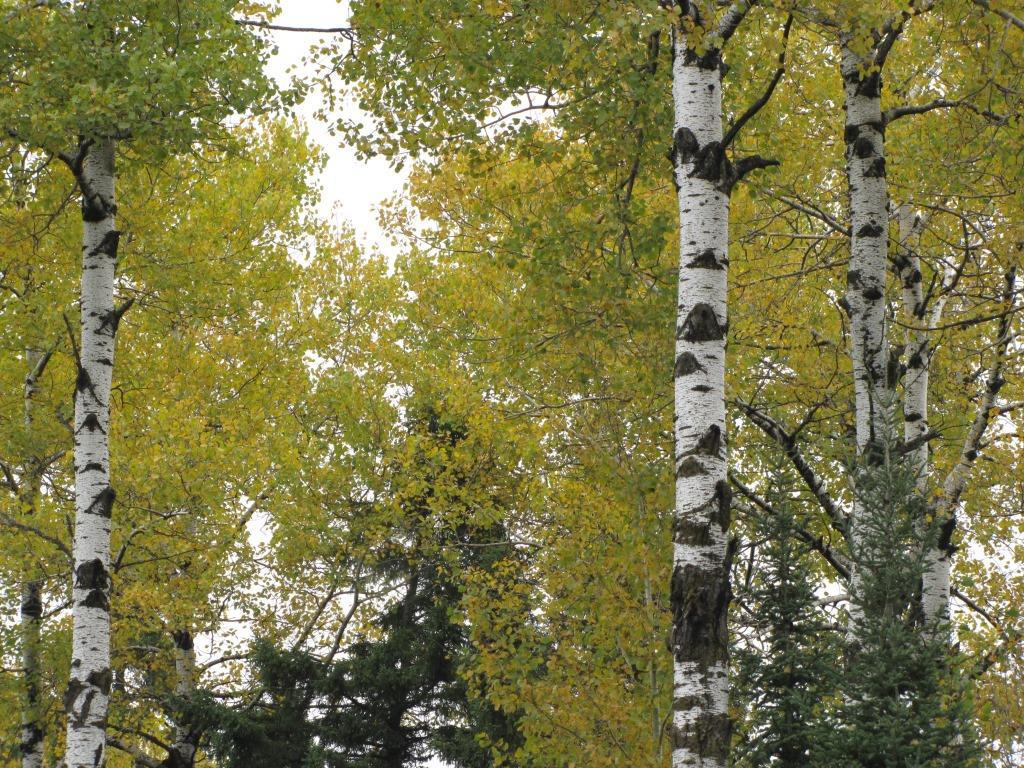 White birch trunks and yellow leaves.