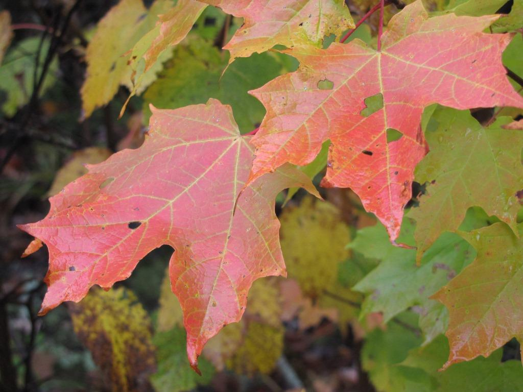 Red maple leaves on a rainy fall day.