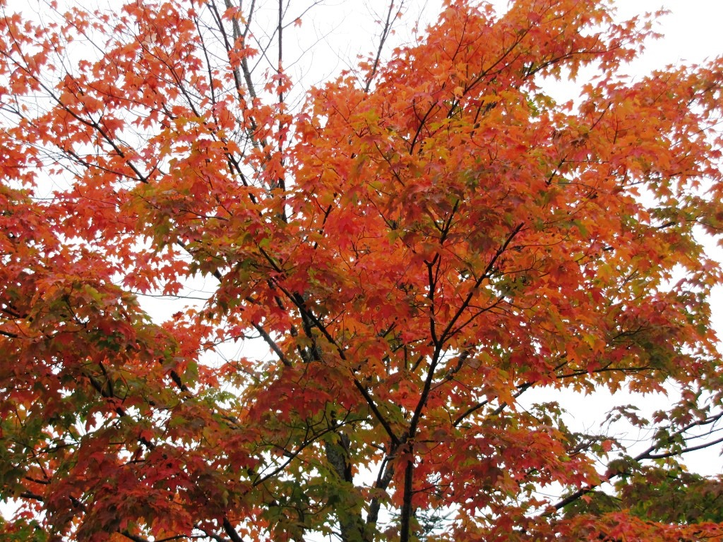 Red leaves on a maple against a white cloudy sky.