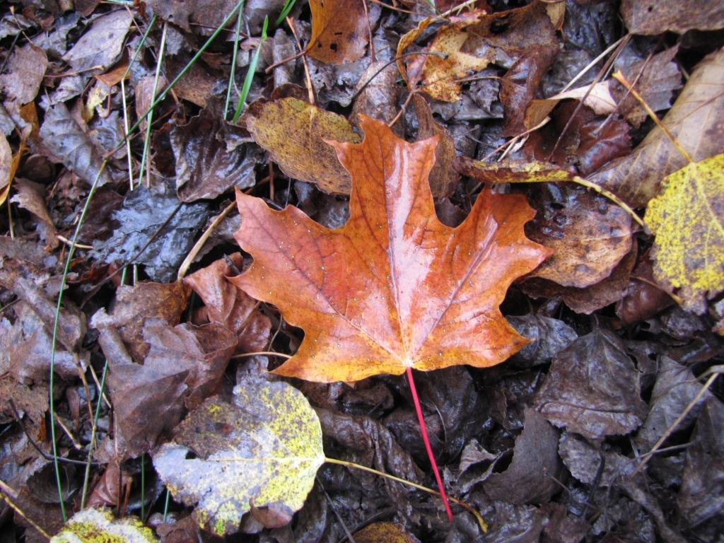 A wet fallen maple leaf lays on the ground.