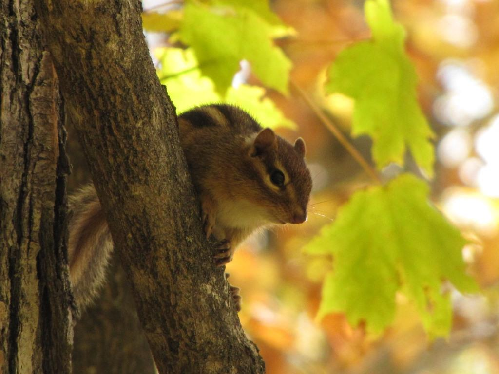 A chipmunk with fall colors in background