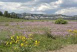 Meadow of flowers on the quemado ranger district