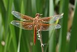 dragon fly resting on reeds