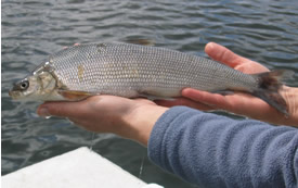 A whitefish from the depths of McKinley Lake