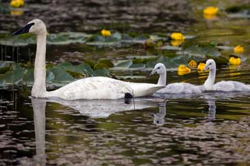 A family of swans placidly paddling