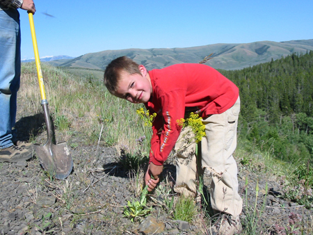 Young boy pulling Dyer's Woad in service learning project.