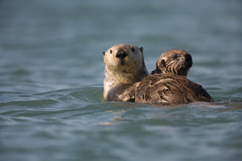 Otters floating in the waters of Prince WIlliam Sound