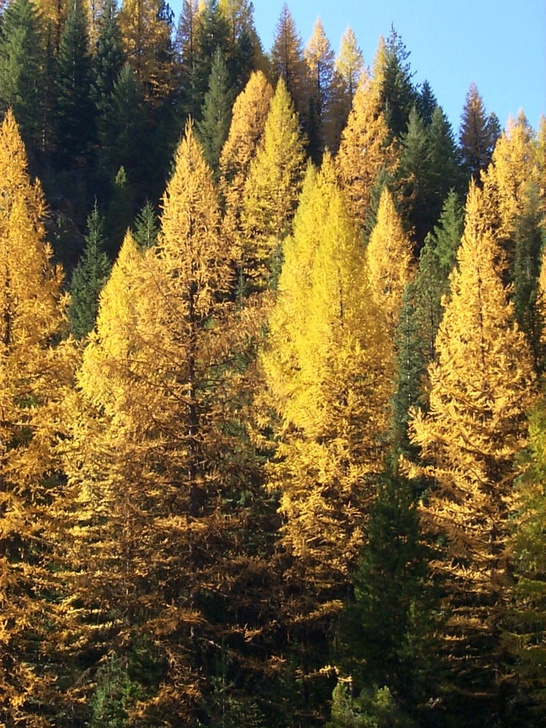 Photo of western larch having turned a golden yellow in the fall.