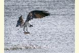 Photo of an osprey carrying off a fish it just caught by diving into a lake.