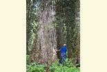 Photo of a man looking up at a large western red cedar in the Roosevelt Grove of Ancient Cedars