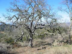 [Photograph]: Oak tree with low branches and overgrown brush.
