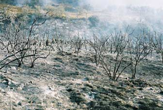 [Photograph]: Plant skeletons left where the chaparral burned.