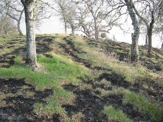 [Photograph]: Green grass not burned in the prescribed fire area, only the dead grasses burned.