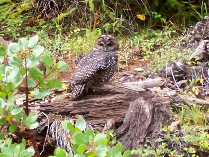 A northern Spotted Owl sits on a down log