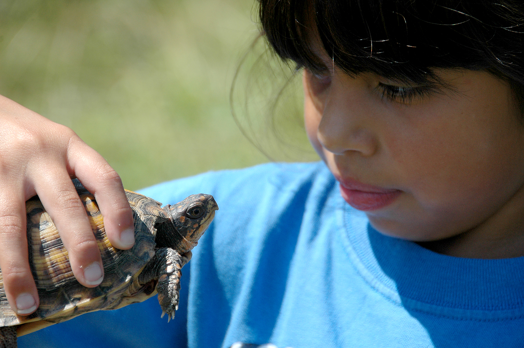 Young girl looks at eastern box turtle.