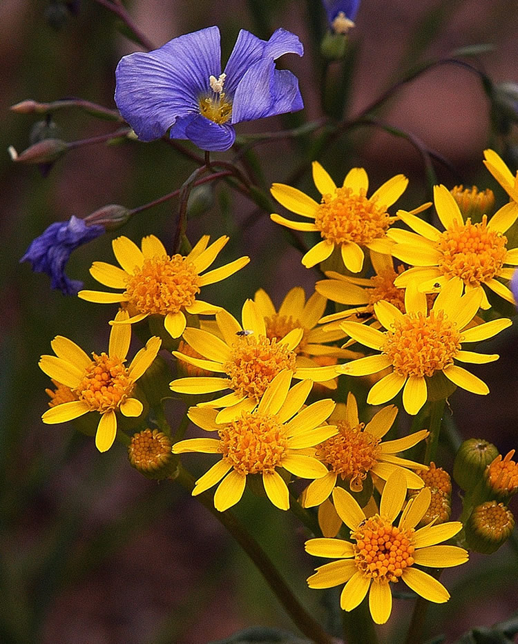 Image of yellow and blue wildflowers