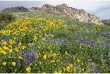 Willard Peak Wildflowers