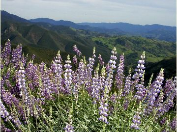 [picture]: Lupine, Figueroa Mountain
