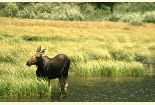Cow Moose Photo