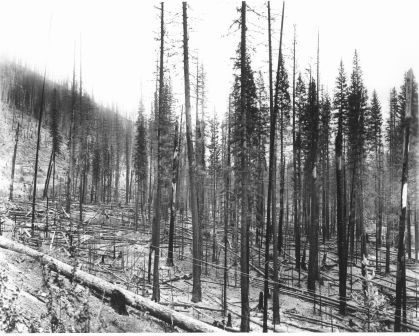 1910 Photo by R.H.McKay, St. Regis, burned white pine.