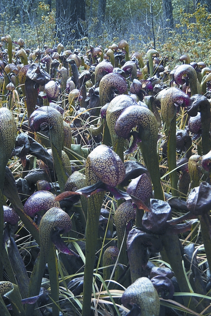 Darlingtonia californica)