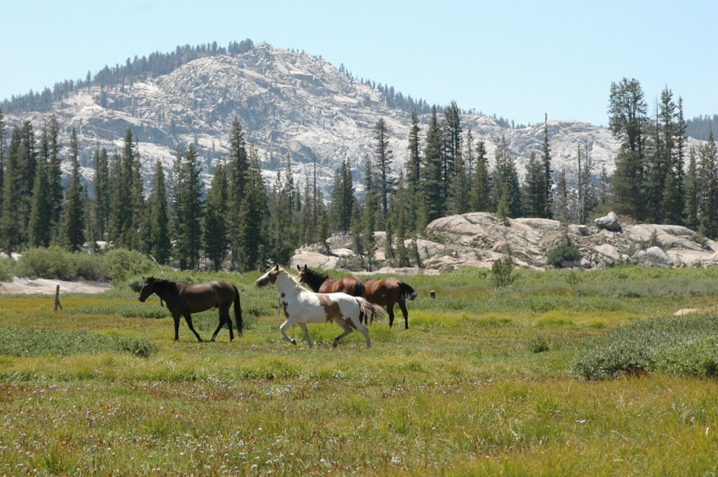 [Photograph]: Horses running in Cooper Meadow.